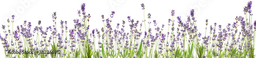 Fototapeta Beautiful lavender flowers on white background. Banner design obraz