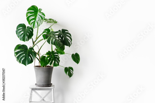 Fotografie, Obraz Monstera deliciosa or Swiss cheese plant in a gray concrete flower pot stands on a white pedestal on a white background