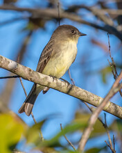 Phoebe Bird On A Branch