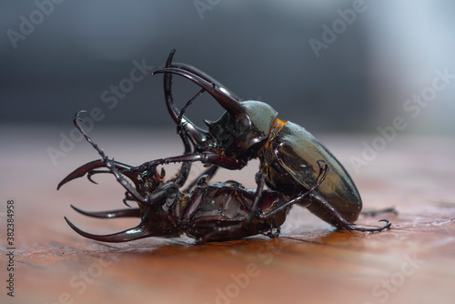 Fotografie, Obraz Two beetles are fighting each other (Chalcosoma atlas)