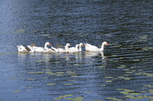 White Geese Love Water.A Lot O...
