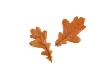 Two Autumn Oak Leaves On A Whi...