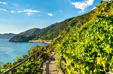 Pathway In Vineyards At Manaro...