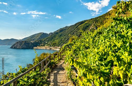 Pathway in vineyards at Manarola, Cinque Terre. UNESCO world heritage in Italy