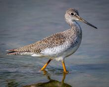 Yellow Legs Shore Bird
