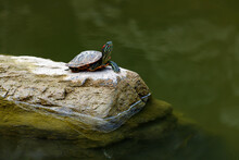 A Turtle On The Rock