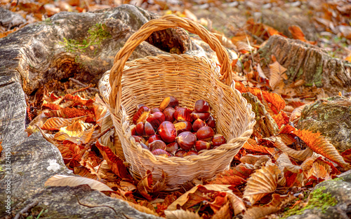 Obraz na plátně chestnuts background - harvesting chestnut in the forest with basket in autumn f
