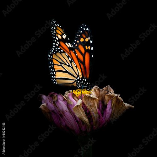 Fotografie, Obraz Monarch butterfly  36890