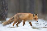 Fototapeta Zwierzęta - lis