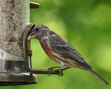 Molting Male House Finch At A Bird Feeder
