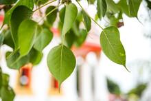 The Green Leaf Pho Leaf, (bo L...