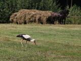 Fototapeta Zwierzęta - Bocian na polu poszukujący pożywienia, w tle dwa konie i wóz z sianem