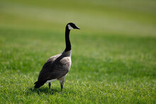 Goose Standing On The Grass