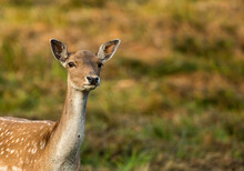 Female Of Fallow Deer (Dama Dama)