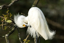 A Snowy Egret.  It Is A Beauti...
