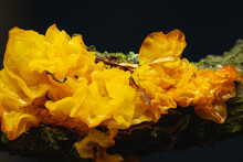 """""""Yellow Brain"""" Mushroom, Latin Name: Tremella Mesenterica. Other Names: Golden Jelly Fungus, Yellow Trembler, And Witches' Butter."""