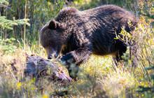 Grizzly Bears On A Carcass