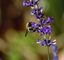 Common Carder Bee On Lavendar