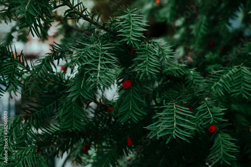 Fotografie, Obraz Closeup of a green yew tree branch with berries