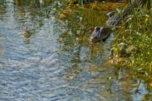 Swimming Alligator At Circle-B...
