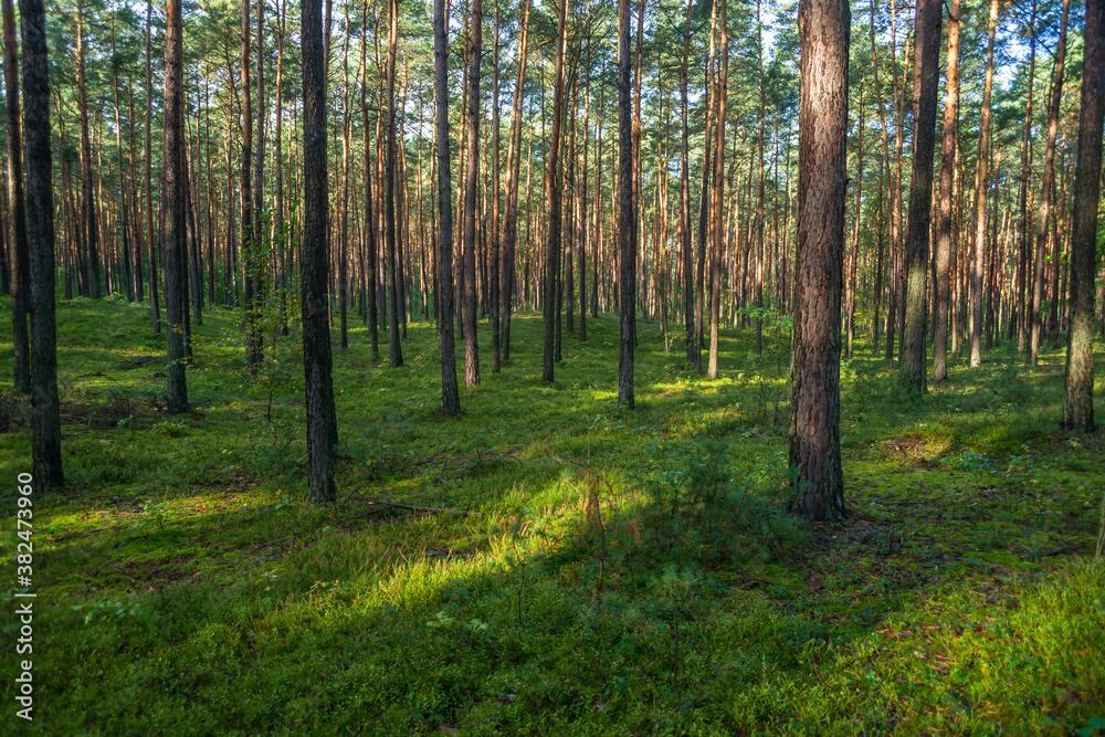Fototapeta młody las sosnowy w okolicy Szczawina i Swędowa