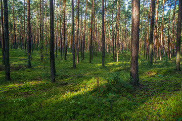 młody las sosnowy w okolicy Szczawina i Swędowa