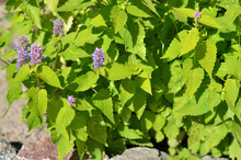 Agastache Foeniculum Or Anise Hyssop - Species Of Perennial Aromatic Plant In The Mint Family Growing Outdoors In The Garden, Medicinal Herb.