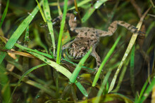 The European Red-bellied Toad ...