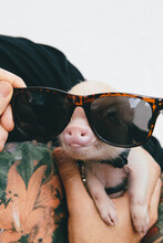 Tiny Micropig In Sunglasses
