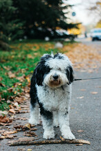 Cute Shapendoes Dog On The Street