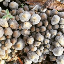 Small Mushroom Fungus Growing Naturally In Leaves