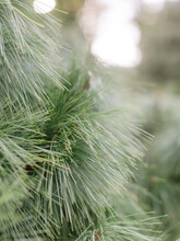 Long Needle Pine Tree