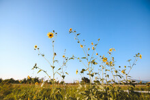 Summer Wildflowers, Central Va...