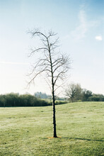 Leafless Tree In A Meadow On A Bright Day