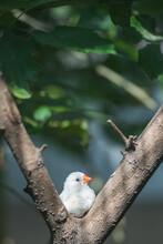 White Zebra Finch On Tree Branch