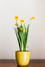 Yellow Pot Filled With Yellow Mini Daffodils Sits On A Wood Table