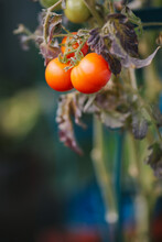 Bunch Of Three Ripe Red Tomatoes On The Plant