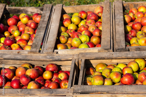 Ripe red apples in large wooden boxes during fruit picking day. Selective focus. © Vadi Fuoco