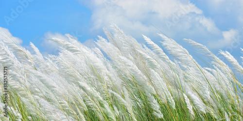 Fototapeta catkin flower plant habitat beautiful landscape scenery with blue sky of Autumn
