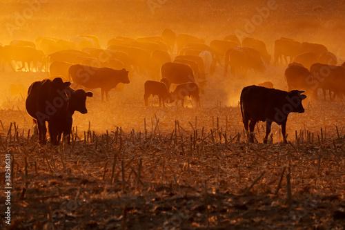 Fototapeta Silhouette of free-range cattle walking on dusty field at sunset, South Africa