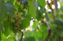 Bunches Of Grapes Ripen Under ...