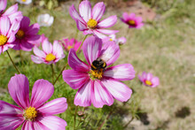 Bumble Bee Feeding From Pink A...