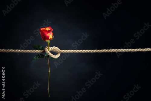 Fototapeta Red rose is tied with a rough rope. The concept of slavery or hostage, restriction of freedom. obraz