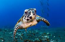 Hawksbill Sea Turtle In Coral ...