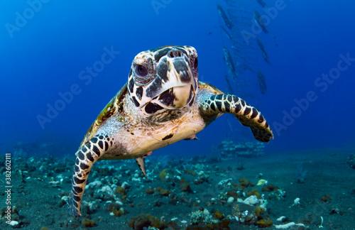 Photo Hawksbill sea turtle in coral reefs