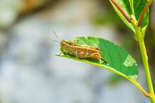 Beautiful Grasshopper Acridida...