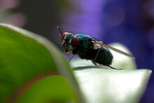 Closeup Of A Common Green Bottle Fly Lucilia Sericata Insect