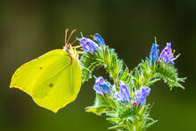 Common Brimstone Butterfly Gon...