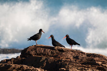 Three African Oystercatcher (Haematopus Moquini) Birds Standing On A Rock With A Wave Breaking In The Background