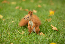 Red Squirrel In Grass In Park ...